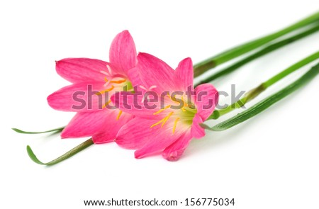 Zephyranthes rosea or Rain lily over white background - stock photo