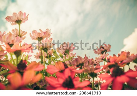 Zinnia angustifolia flowers in the garden nature and park vintage - stock photo
