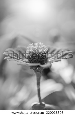 Zinnia flower,closeup of red Zinnia flower in full bloom,Youth-and-old-age flower ,black and white - stock photo