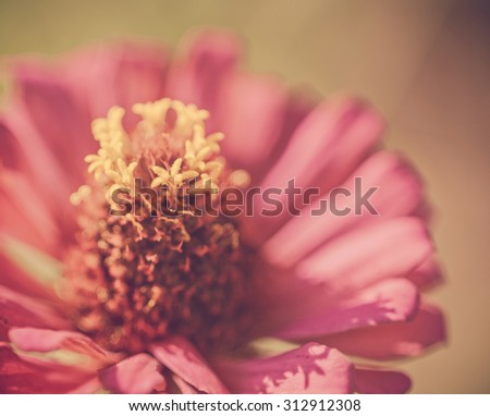 Zinnia flower,closeup of red Zinnia flower in full bloom,Youth-and-old-age flower,vintage - stock photo