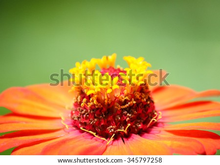 Zinnia red on a background of nature