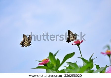 Zinnia & Swallowtail butterfly under blue sky  - stock photo