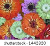Zinnias - stock photo