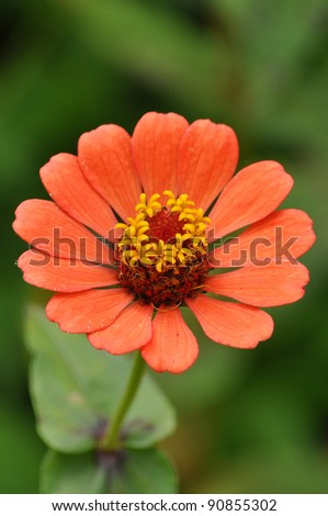Zinnias seem especially favored by butterflies, and many gardeners add zinnias specifically to attract them. - stock photo