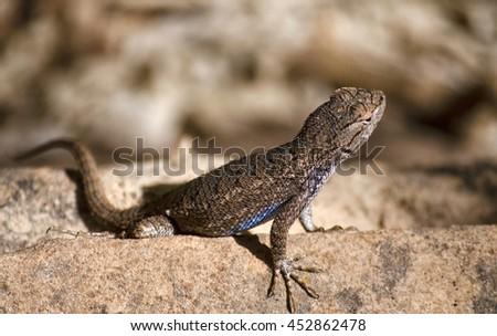 Zion Lizard - stock photo