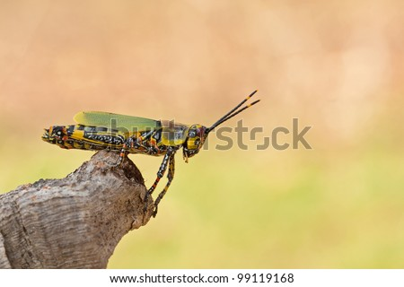 Zonocera variegata grasshopper with great colors ready to take a giant leap