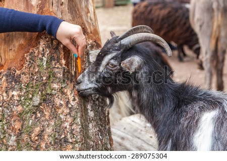 Zoo visitor feeds a goat in a zoo, Kiev, Ukraine