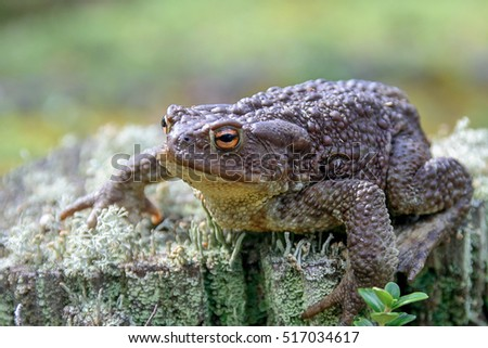 Zoology. Wildlife. A large earthen toad sitting on a stump. Common toad. Brown toad. Lives in the forest of the middle band.