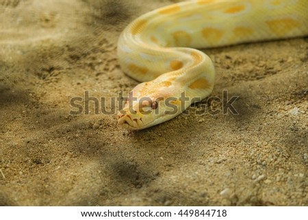 Zoom and close up eyes of gold Reticulated python on desert - stock photo