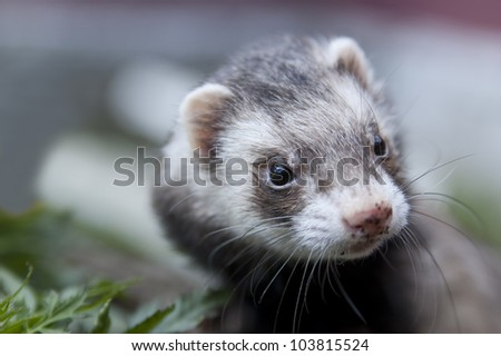 Zoomed ferret face with dirty nose looking somewere - stock photo