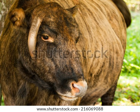 Zubron - hybrid of domestic cattle and european bison (wisent) - stock photo