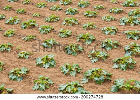 Zucchini plantation in monastery in holy Mount Athos - stock photo