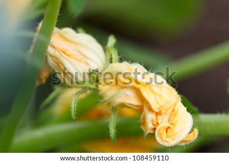 Zucchini with flowers in vegetable garden - stock photo