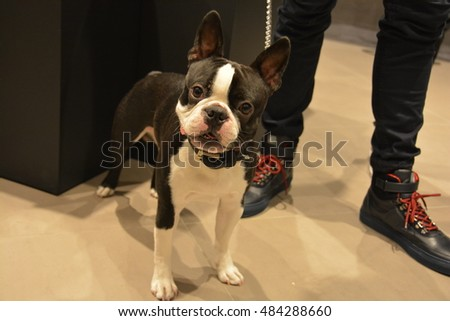 ZURICH, SWITZERLAND - SEPTEMBER 10: European Boston Terrier puppy named 'GoldenGlimmer Knight of Brooklyn' indoors on September 10, 2016 in Zurich, Switzerland.