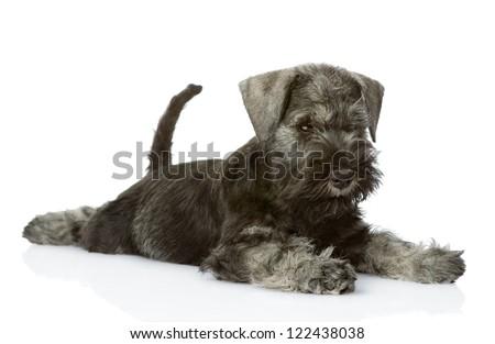zwergschnauzer puppy. isolated on white background - stock photo