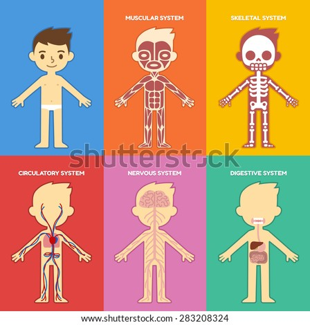 """My body"", educational anatomy body organ chart for kids. Cute cartoon little boy and his bodily systems: muscular, skeletal, circulatory, nervous and digestive. - stock vector"
