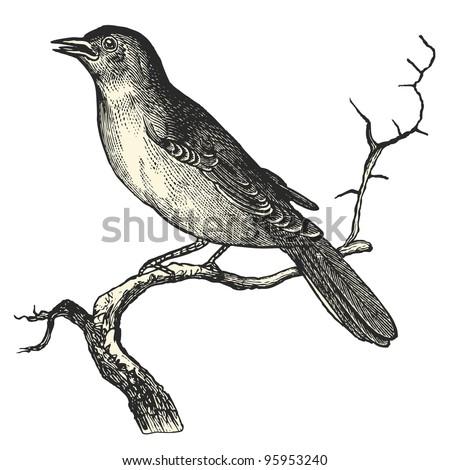 """Nightingale - vintage engraved illustration - """"Dictionnaire encyclopedique universel illustre"""" By Jules Trousset - 1891 Paris - stock vector"""