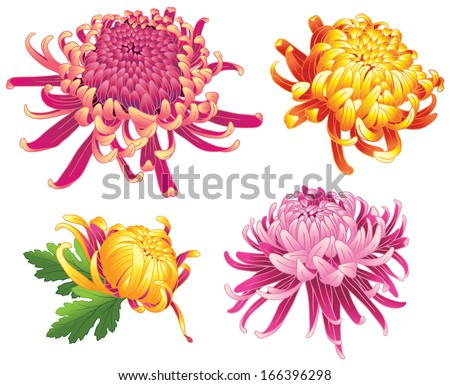 set of four chrysanthemum flower color blossoms isolated on white.