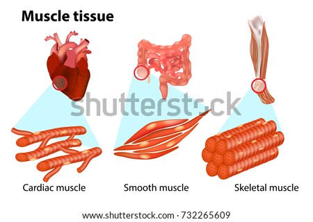 Three Types Muscle Tissue Anatomy Muscular Stock Vector 732265609