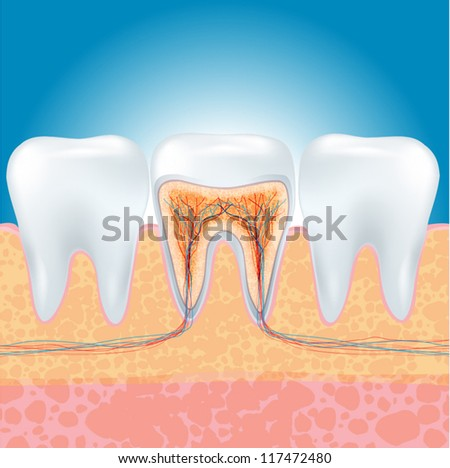 vector illustration of toohh section. - stock vector