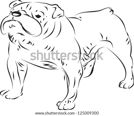 A bulldog on the white