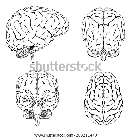 A diagram of a brain from the top side front and back in outline - stock vector