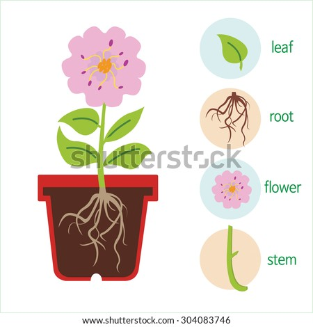 Diagram plant flower consists stem roots stock vector royalty free a diagram of a plant a flower consists of a stem roots leaves ccuart Images