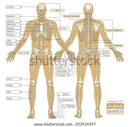 skeletal system stock images, royalty-free images & vectors, Muscles