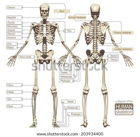 A diagram of the human skeleton. Main parts of the skeletal system. Vector illustration - stock vector