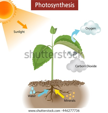 Diagram showing how photosynthesis works on stock vector 446277736 a diagram showing how photosynthesis works on plants ccuart Gallery