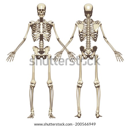 human skeleton front rear view isolated stock vector 200566949, Skeleton