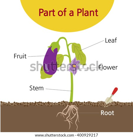 Plant Part Stock Image... Cell Biology Art