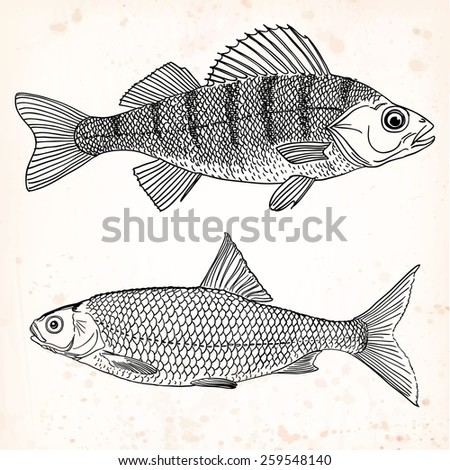 A set of two freshwater edible fishes - a freshwater perch and a common roach drawn with black outlines, on an vintage paper background. Vector illustration