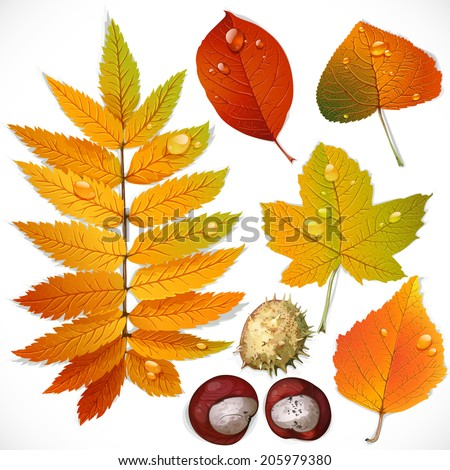A set of yellow and red autumn leaves and chestnut isolated on a white background - stock vector