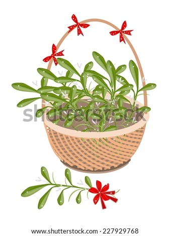 A Symbol of Love and Luxury, An Illustration of Mistletoe Bunch or Vi scum Album with A Christmas Red Ribbon on A Beautiful Wicker Basket for Someone Special.  - stock vector