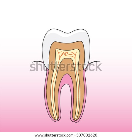 A vector illustration cross section of tooth  - stock vector