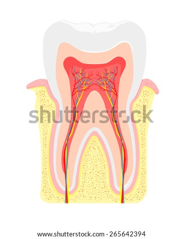 A vector illustration cross section of tooth and gum anatomy. Tooth Anatomy. Tooth anatomical depiction. - stock vector