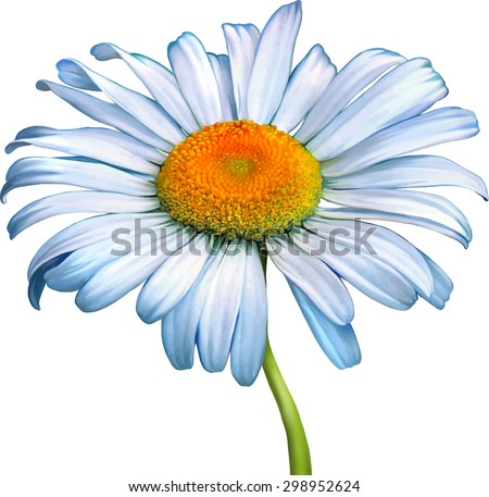 A white chamomile flower with yellow middle, Spring flower.Isolated on white background - stock vector