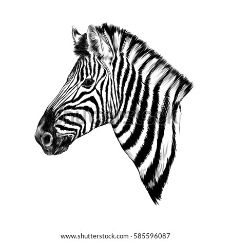 Zebra Sketch Stock Ima...