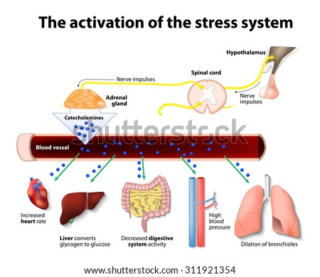 an analysis of stress in immune system The links between the psychological and physiological features of cancer risk and progression have been studied through psychoneuroimmunology the persistent activation of the hypothalamic-pituitary-adrenal (hpa) axis in the chronic stress response and in depression probably impairs the immune response and contributes to the development and progression of some types of cancer.