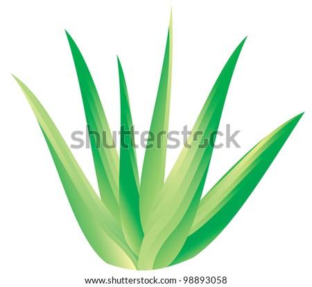 Aloe vera - stock vector