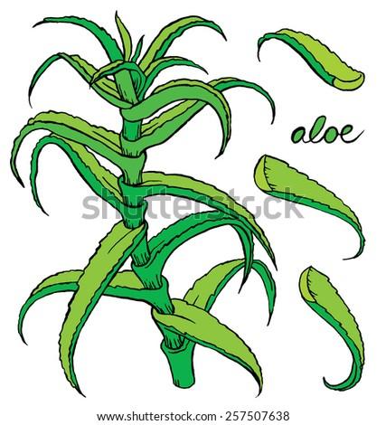 Aloe vera colored hand drawn vector sketch - stock vector