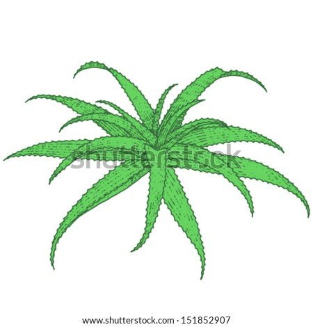 Aloe vera vector illustration