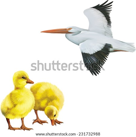 American White Pelican, Cute ducklings isolated on white background - stock vector