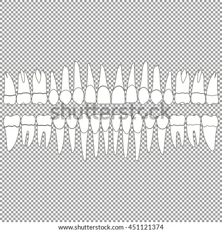 An anatomically correct dentition upper and lower jaw chart. Set of teeth crown and root of the incisor, canine, premolar, and molar tooth. Vector illustration for print or design dental website. - stock vector