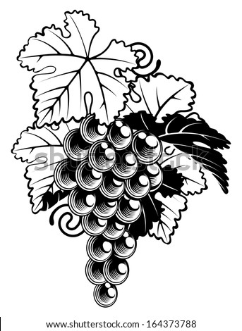 An illustration of a bunch of grapes on a grapevine in a  vintage woodcut print style - stock vector
