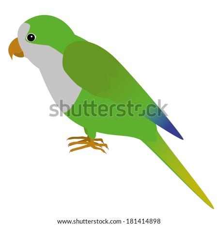 An illustration of a quaker parrot - stock vector