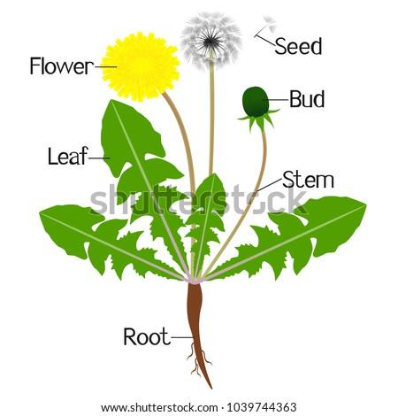Illustration showing parts dandelion plant stock vector 1039744363 an illustration showing parts of a dandelion plant ccuart Image collections