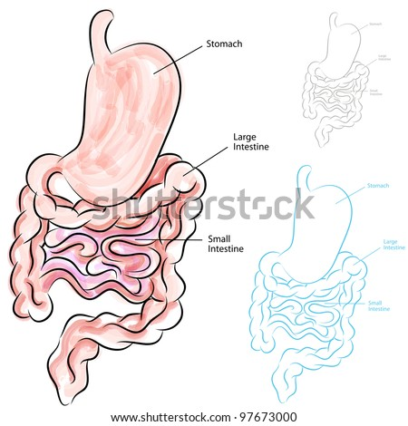 An image of a human digestive system. - stock vector