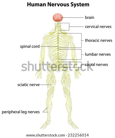 An image showing the human nervous system - stock vector